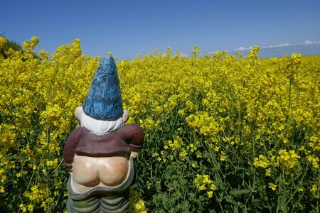 Garden gnome, rear view, in front of blooming rape field (Not protected by copyright)