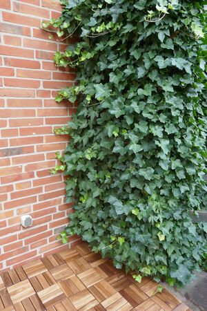 Ivy, Helder helix, evergreen climber grows on a wall on the terrace of a residential building