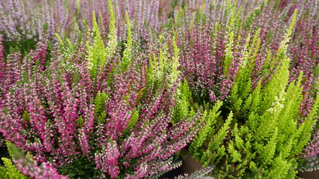 Purple, pink and white blooming common heather in autumn til spring. Top view, full frame, close-up. Zdjęcie Seryjne