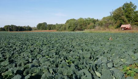 Cabbage, savoy cabbage.Vegetable cultivation in Croatia on the Istrian peninsula, near Pula. close-up