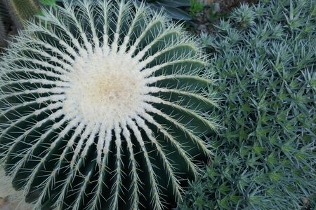 Golden barrel cactus (Echinocactus grusonii) also known as golden ball cactus or mother-in-laws cushion. Close-up, It is a well-known species of cactus and is endemic to east-central Mexico