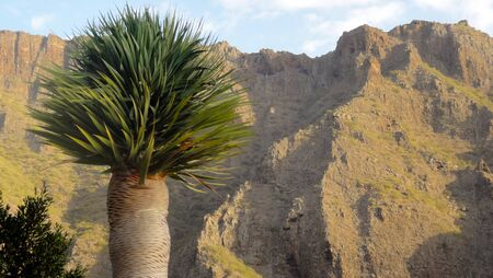 Close-up of a yucca palm tree in the south of Morocco. High Atlas, Atlas Mountains