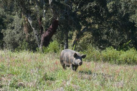 Free-roaming black pig, Pata negra pig, grazing on the extensive natural terrain of a farm in Portugal, in the Alentejo.
