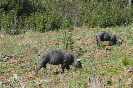 Free-roaming black pigs, Pata negra pigs, Graze on the extensive natural terrain of a farm in Portugal, in the Alentejo.