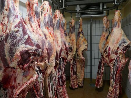 Many fresh slaughtered cattle halves are hanging in the cold store of a slaughterhouse in Germany, Schleswig-Holstein