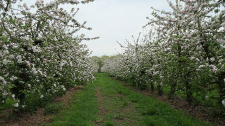 Apple trees during flowering. Beautiful flowering orchard in spring.