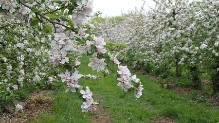 Pink buds and white flowers adorn the branches of an apple tree in spring. Zdjęcie Seryjne