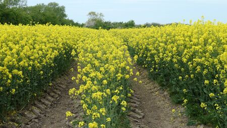 Rapeseed blossom in spring in Schleswig-Holstein (Brassica napus) Narrow path through a golden yellow rapeseed field