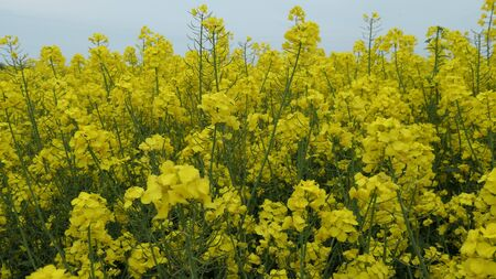 Gold yellow flowering rapeseed field. (Brassica napus) Canola blossom in spring in Schleswig-Holstein, Germany, close-up.