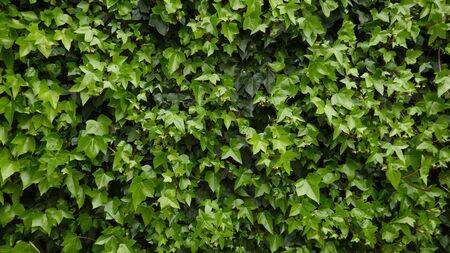 Efeu, Hedera Helix, immergrüne Kletterpflanze. Hintergrund, Textur, Nahaufnahme Standard-Bild