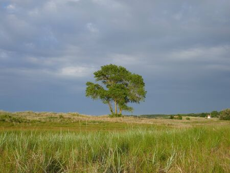 Lonely tree between the dunes. Before the storm. Way to the beach. Schleswig-Holstein Germany, Europe Zdjęcie Seryjne