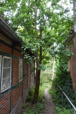 A wild cherry tree grows on a narrow path between two old half-timbered houses overgrown with ivy in Schleswig-Holstein, Germany