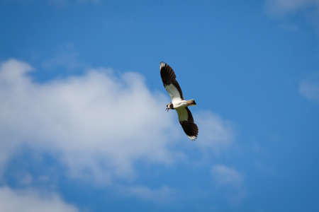 Beautiful bird the lapwing (Vanellus vanellus) in flight against blue sky with clouds in summer Sunny day Stock Photo