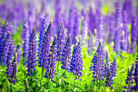 Beautiful purple wildflowers lupines for green rural field. Clear Sunny summer day