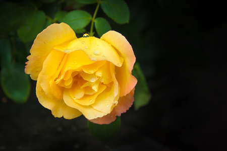 Beautiful large yellow rose with green leaves on a dark background. One flower. Rural garden. Summer. Free space for text Stock Photo