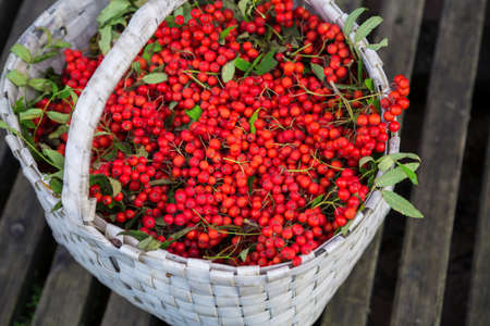 Beautiful red wild berry. Bunches of Rowan collected in the autumn season in a white basket. Background of an old thin wooden boards. Rural views . Merry Christmas.