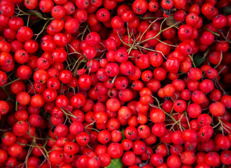 rowanberry: Beautiful red wild berries collected in the autumn season. Brushes Rowan after collection. Christmas background Stock Photo