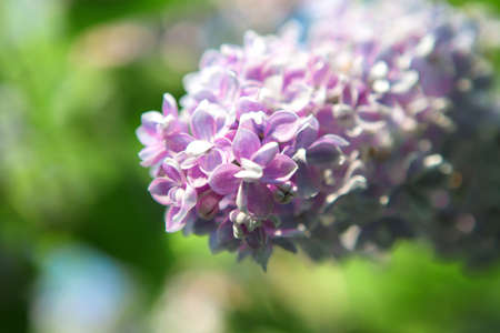 Beautiful lush pink and purple bunches of lilac in a rural Park. Blurred background. Macro mode. Summer season