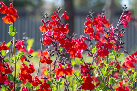 Schöne rote Blume von Löwenmaul im Blumengarten