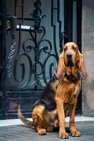 Beautiful young Bloodhound dog Imagens