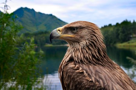 bird eagle on a background of mountains and forests photo