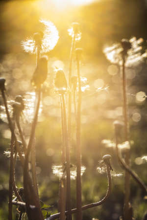 dandelion at sunset in a golden light photo