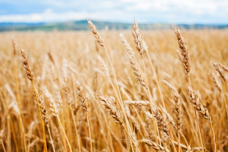 grain fields: Wheat field and blue sky Stock Photo