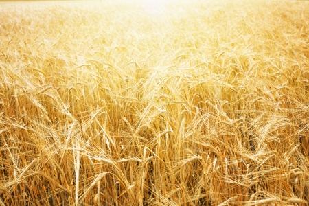 cebada: Campo de trigo y cielo azul