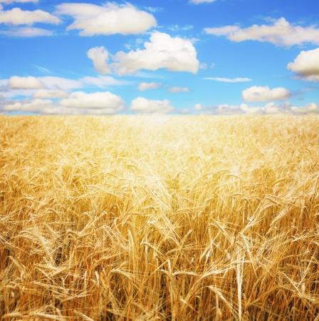 aratás: Búza téren és a kék ég Stock fotó