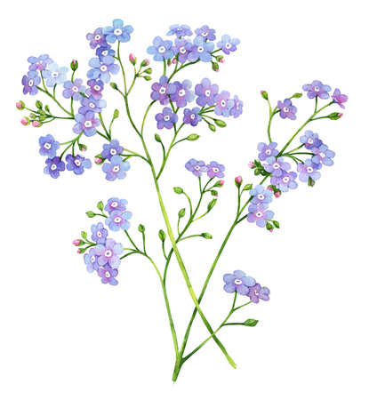 forget me not: Forget me not flower watercolor botanical illustration