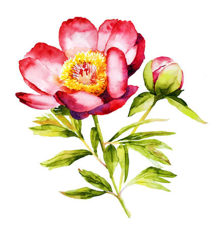 Red peny flower watercolor illustration Stock Photo