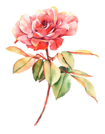 red rose: Watercolor red rose flower Stock Photo