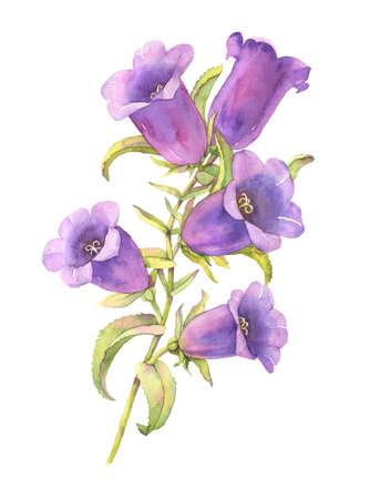 bluebell: Watercolor bluebell flower illustration