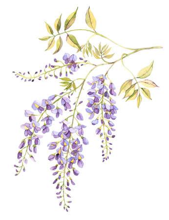 Wisteria blossom watercolor