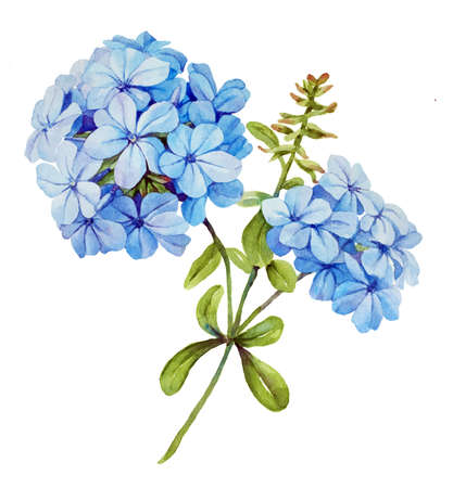 Watercolor with blue jasmine flower Stock Photo