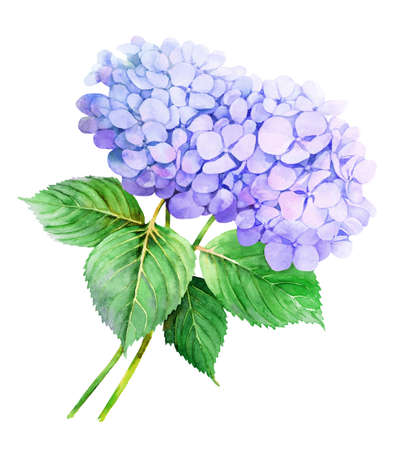 Two violet Hydrangeas watercolor flower illustration