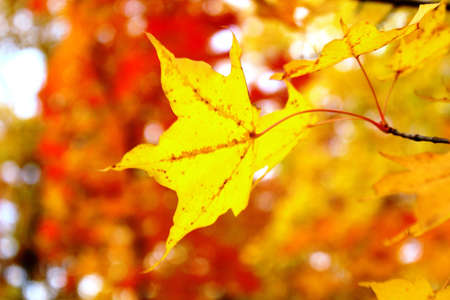 Maple leaves in the autumn.