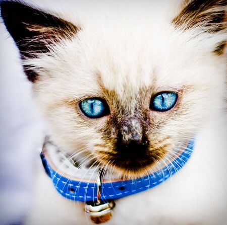 mystique: Siamese Cat with Blue Eyes and Blue Collar