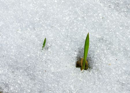 Grass growing through melting snow