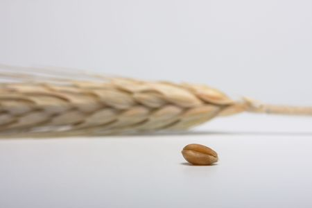 Wheat ear and one corn on white background Stock Photo - 3925970