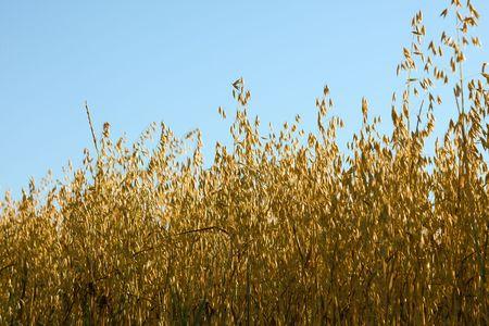 Field of ripe barley in summertime Stock Photo - 3925975