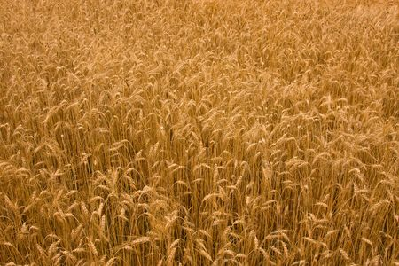 Field of golden ripe wheat as background photo
