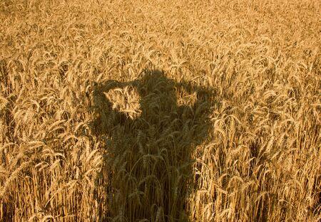 Human shade on the field of ripe wheat photo