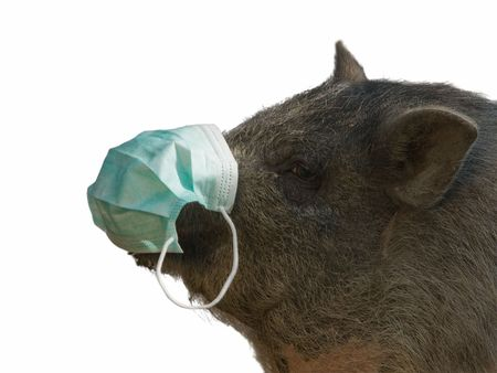 pig with blue gauze bandage isolated on white photo