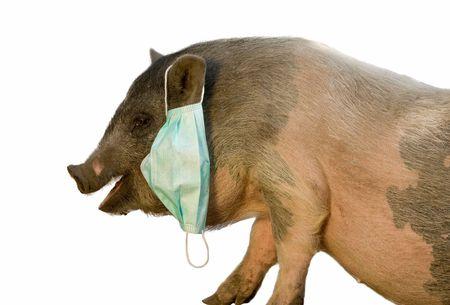 pig with blue gauze mask isolated on white photo