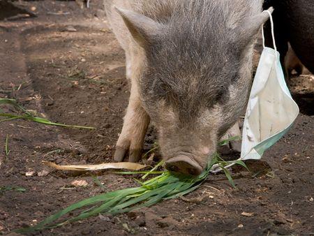 pig with blue gauze bandage  photo