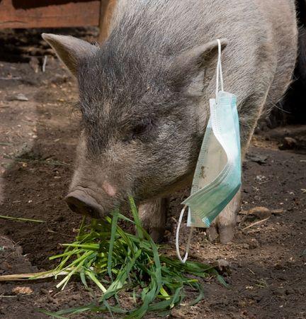 pig with blue gauze mask photo