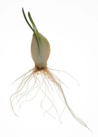Half cut of growing onion