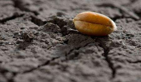 sequias: Disparo de macro de ma�z oro en suelo seco Foto de archivo