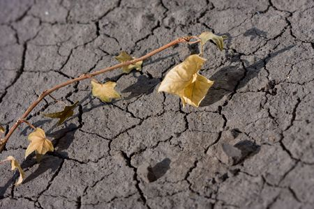 waterless: Close-up of parched ivy on waterless soil background